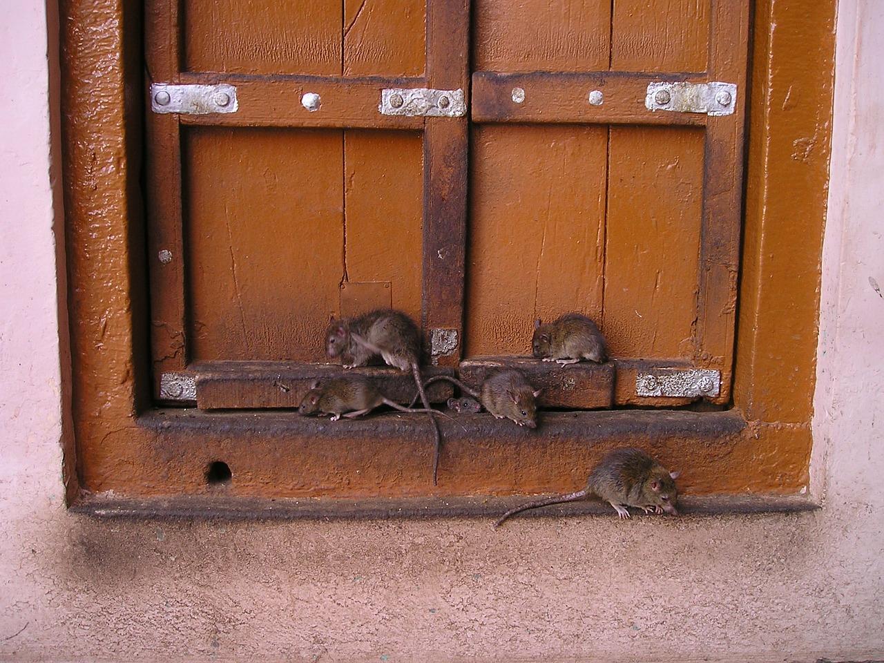 infestación de ratas